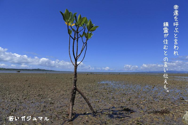 奄美の盆栽。ガジュマル。