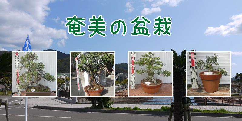 奄美の盆栽