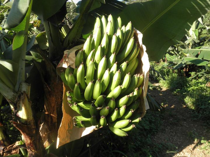 バナナ畑③