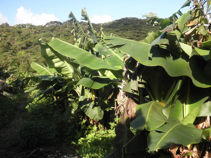 バナナ]畑①