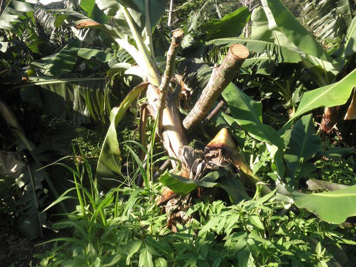 バナナ畑④