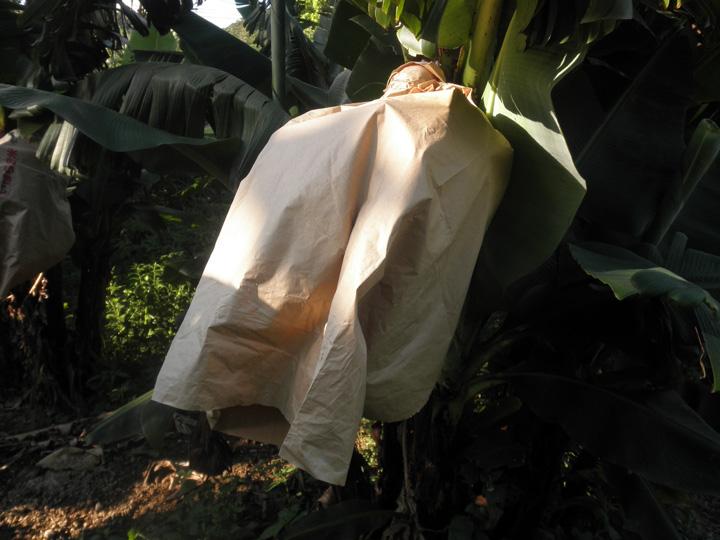 バナナ畑②