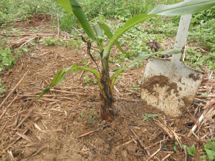 島バナナの苗の植え付けが終わりました。