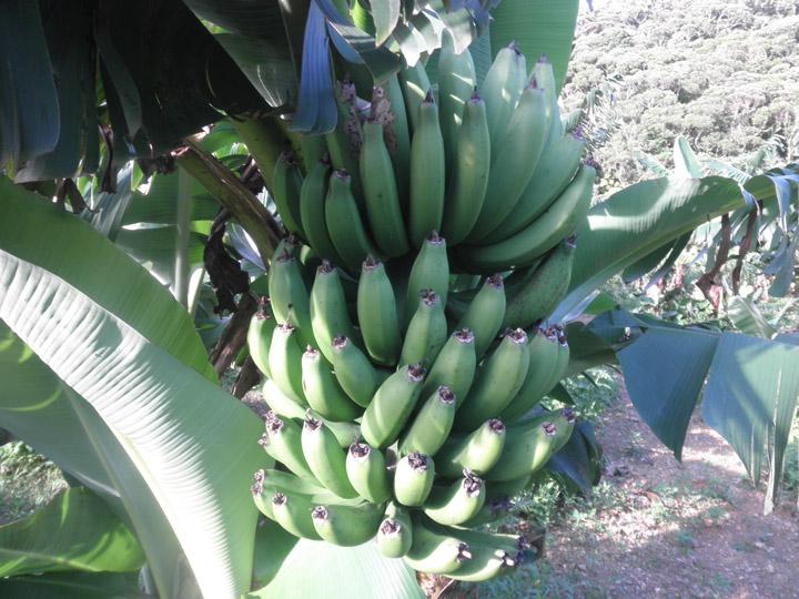 バナナ畑⑤