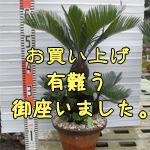金縁ソテツno-1