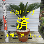 金縁ソテツno-2