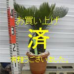 金縁ソテツno-3