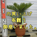 金縁ソテツno-4