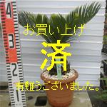 金縁ソテツno-5