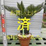 金縁ソテツno-7