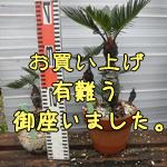 mini盆栽ソテツNO-3