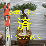 mini盆栽ソテツNO-7