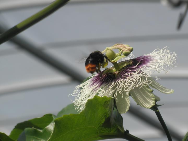 外国産ミツバチ1