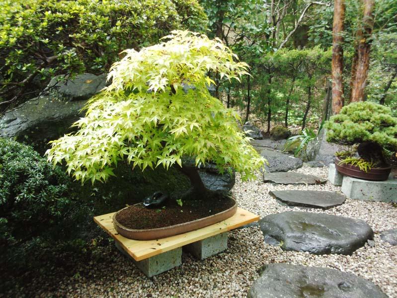 もみじの盆栽2