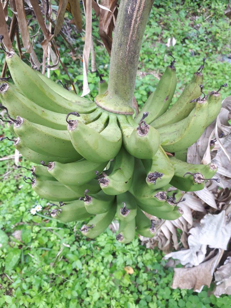 島バナナNO3