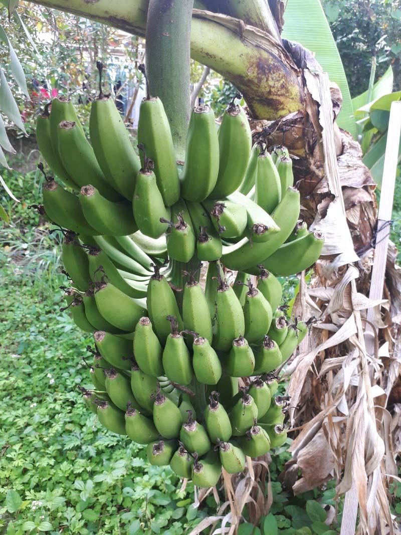 三尺バナナ-5