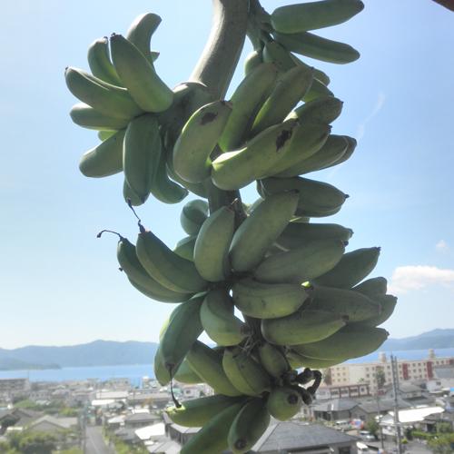 三尺バナナ150